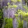 亀戸天神の藤の花1