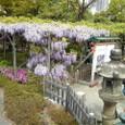 亀戸天神の藤の花2