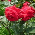 旧古河庭園 薔薇2