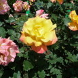 旧古河庭園 薔薇3