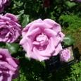 旧古河庭園 薔薇4