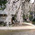 茂林寺 しだれ桜2