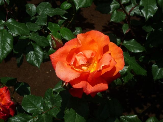 旧古河庭園 薔薇5