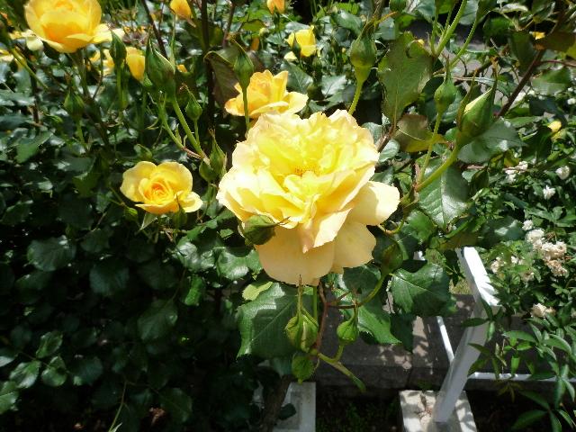 旧古河庭園 薔薇1