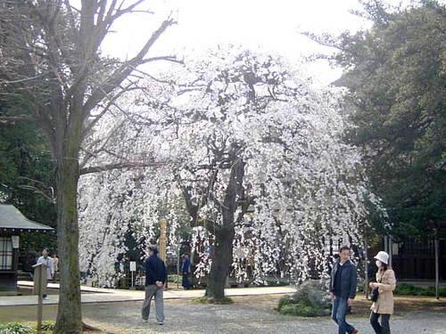 茂林寺 しだれ桜1